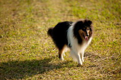 Sable collie (rough) Royalty Free Stock Photography