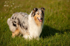 Sable collie (rough) Stock Photography
