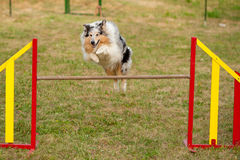 Sable collie (rough) Stock Images