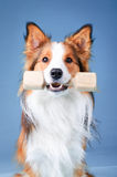 Sable color border collie tooks aport Royalty Free Stock Images