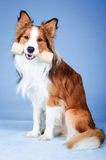 Sable color border collie tooks aport Stock Photography