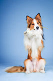 Sable color border collie, trick with  flower Royalty Free Stock Photography