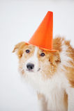 Dog have fun with cone portrait in winter Stock Image