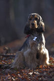 Sable English Cocker Spaniel in Forest Stock Images