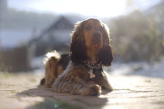 Sable English Cocker Spaniel  Stock Image
