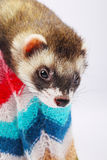 Sable ferret in basket Royalty Free Stock Photography