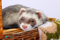 Sable ferret in basket. Portrait of sable ferret lying in the basket Royalty Free Stock Image