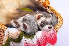 Sable ferret in basket. Two sable ferrets lying  in the basket Stock Photography