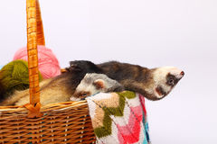 Sable ferret in basket Stock Photos