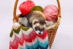 Sable ferret in basket Stock Image