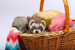Sable ferret in basket. Two sable ferrets lying  in the basket with colorful balls of yarn Royalty Free Stock Image