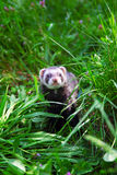 Sable ferret on the grass. Royalty Free Stock Photo