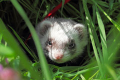 Sable ferret hiding in the grass. Close-up. Stock Photo