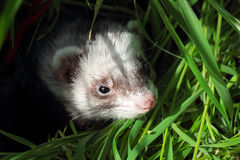 Sable ferret hiding in the grass. Close-up. Royalty Free Stock Photo