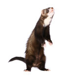 Sable Ferret Standing Up Stock Photography