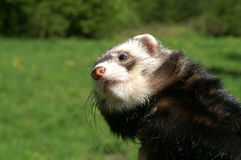Sable ferret in the summer Royalty Free Stock Photography