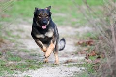 Sable German Shepherd or working line running. Near very tall grass on a path Royalty Free Stock Photo
