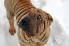 Sable horse coat sharpei portrait Stock Image