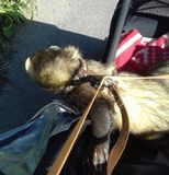 Two male sable ferrets on an outing in their pram. Sable male adult ferrets out for a walk stock photos