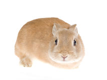 Sable Netherland dwarf rabbit, on white background Stock Images