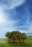 Sable palm stand. A sable palm stand alone in a grassy area with a bright summer sky.  Put your copy in the sky Stock Photo