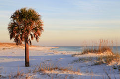 Sable Palm Tree on White Sand Beach Stock Photo