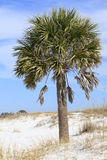 Sable Palm Tree on the White Sand Beach of Florida Stock Images