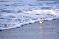 Sable Piper Bird Running de l'eau image stock