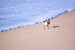 Sable Piper Bird Running de l'eau photographie stock