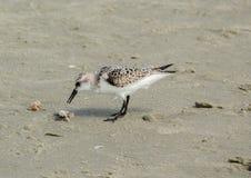 Sable Piper Litchfield Beach, la Caroline du Sud images libres de droits