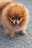Sable Pomeranian dog portrait Royalty Free Stock Images