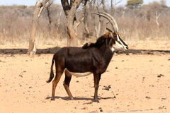 Sable Portrait. Portrait of a sable (Hippotragus niger)  It was taken in Waterberg National Park Namibia Africa Stock Photo