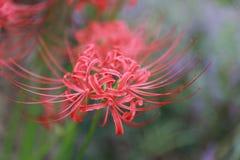 Sable rouge de Bian Hua Higanbana Cayman de plan rapproché de fleur, stramonium de Mandara de datura de perles extérieur dans un  photos stock