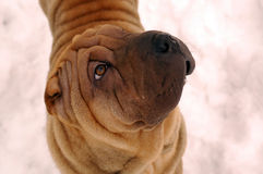 Sable sharpei dog portrait. Sable coloured sharpei male's portrait Royalty Free Stock Photos