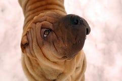 Sable sharpei dog portrait Royalty Free Stock Photos