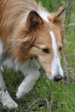 Sable Sheltie. Walking in a field royalty free stock photo