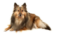 Sable Sheltie with dogbone Stock Photo