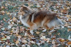 Sable shetland sheepdog puppy is standing in the autumn foliage. Shetland collie or sheltie. Pet animals stock photo