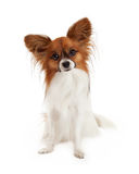 Sable and White Papillon Dog. A pretty sable and white color Papillon Dog sitting and looking attentively at the camera stock photography