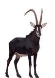 Sableantilope im üppigen grünen Gras lizenzfreie abbildung