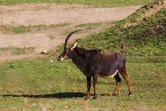 Sableantilope im üppigen grünen Gras Lizenzfreie Stockfotografie