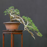 Sabna juniper bonsai cascade stock photography