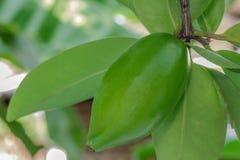 Sabor ácido do garcinia fresco a erva tailandesa tropical Fotografia de Stock
