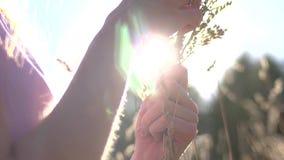 Sabor da grama nas mãos do ` s da mulher no campo do verão vídeos de arquivo