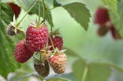 Saboroso! Bagas frescas raspberries Imagem de Stock Royalty Free
