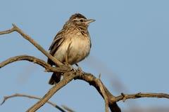 Sabota lark, Mirafra sabota. Single bird on branch, South Africa, August 2015 Stock Photos