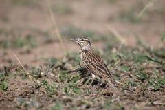 Sabota lark, Mirafra sabota. Single bird on floor, South Africa, August 2016 Royalty Free Stock Image