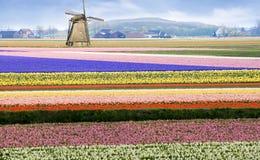 Sabotklotzschuh Holland-Blumenfühler-Farbenblüte Lizenzfreies Stockfoto