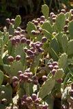 Sabra cactus fruit. Spring,Israel Royalty Free Stock Image