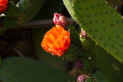 Sabra ficus-indica de buissons d'opuntia sauvage de cactus Photo stock